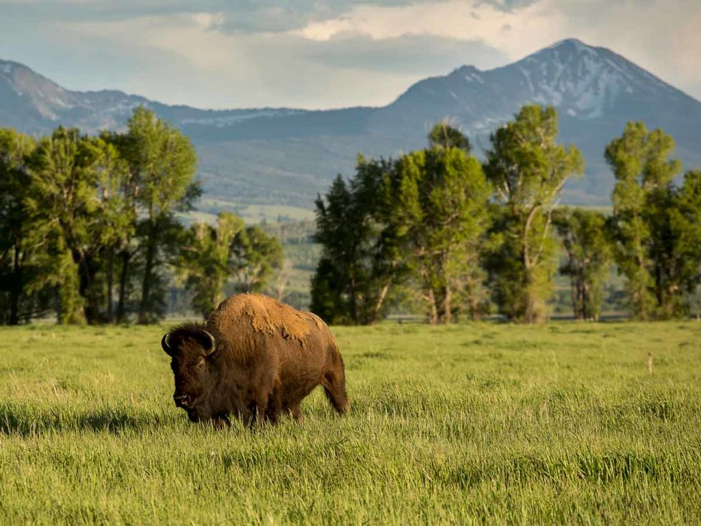 Buffalo near Jackson Hole Wyoming
